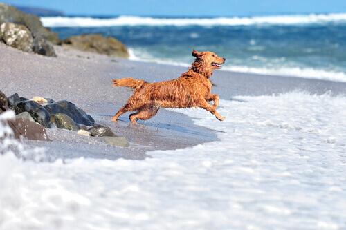 Cão na praia, benefícios da água do mar para os cães