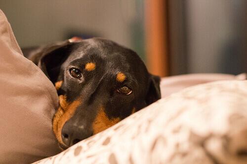 Prevenção e tratamento da torção de estômago canina