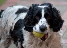 Ensine seu cão a trazer a bola de volta