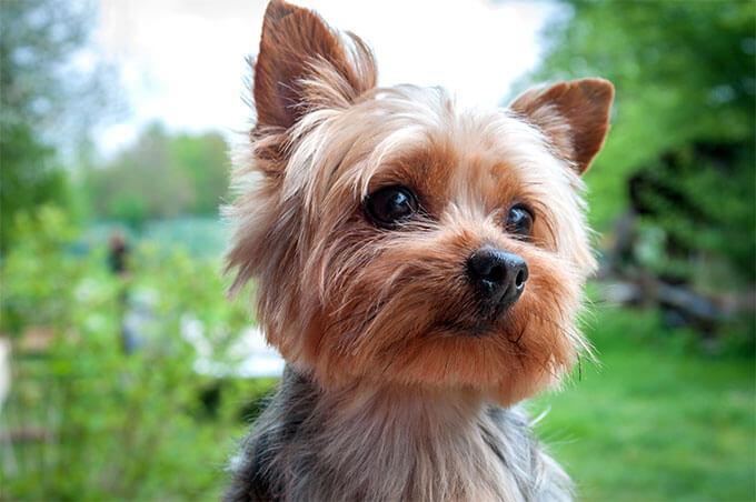 Cão da raça Yorkshire Terrier
