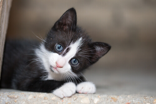 Gatinho preto e branco