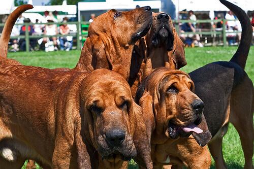 Cães da raça Bloodhound