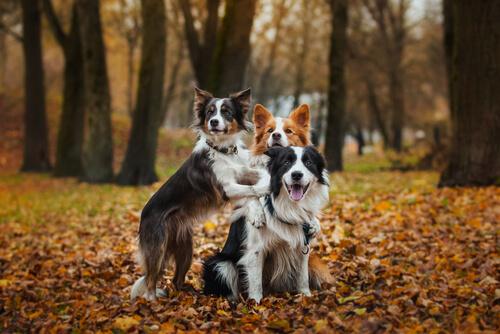 Cães da raça Border Collie na floresta, no outono