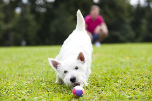 Cão branco brincando com bola