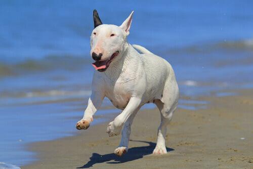 Cão da raça Bull Terrier Inglês correndo na praia