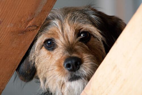 Cão marrom olhando para a câmera
