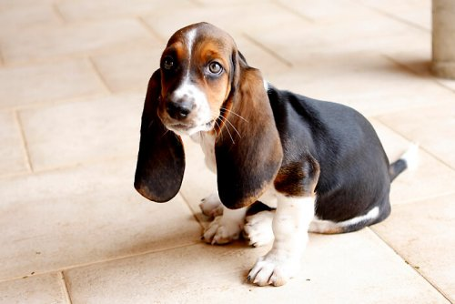 Raças de cães com orelhas grandes