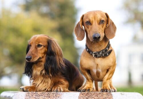 Cães do grupo 4: classificação de raças segundo a FCI