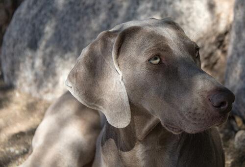 Cães do grupo 7: classificação de raças segundo a FCI