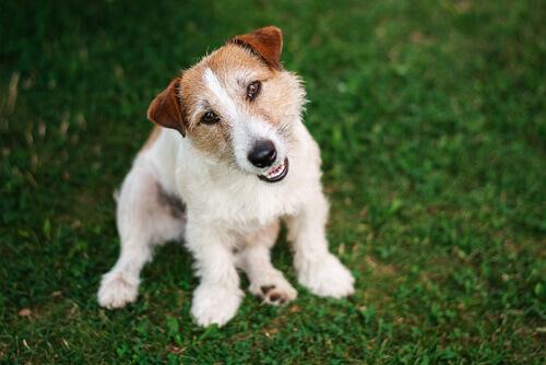 Cãozinho simpático olhando para a câmera