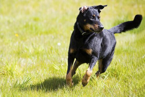 Cães independentes: conselhos para adestramento