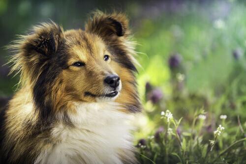 Cão com linda pelagem entre flores