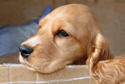 Cão da raça Cocker Spaniel caramelo