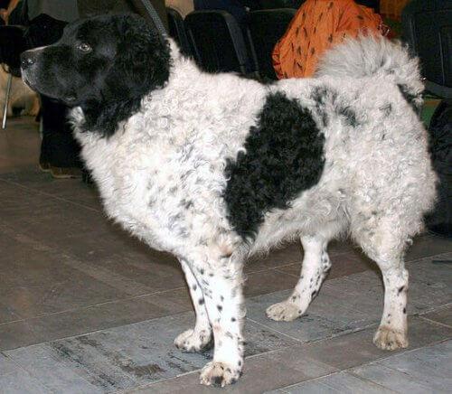 Cão de água frison preto e branco