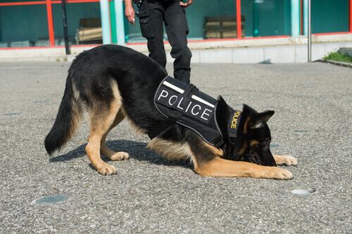 Quais são as qualidades do cão policial?