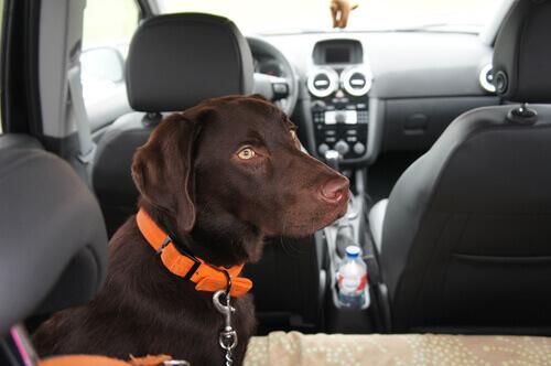 Cachorro no carro com cinto