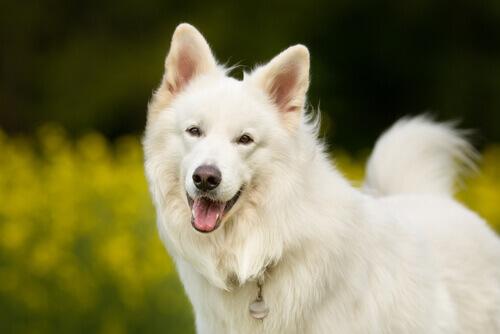 Cachorro da raça Samoieda