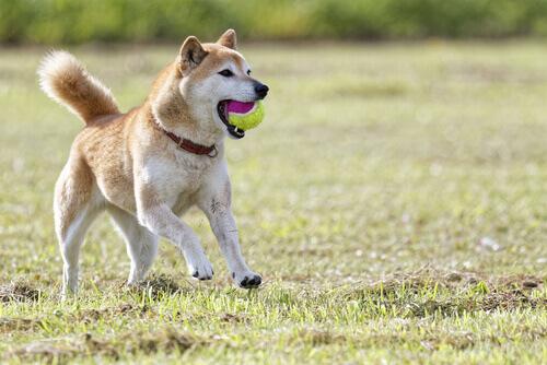 Shiba, conhecido como cachorro-gato