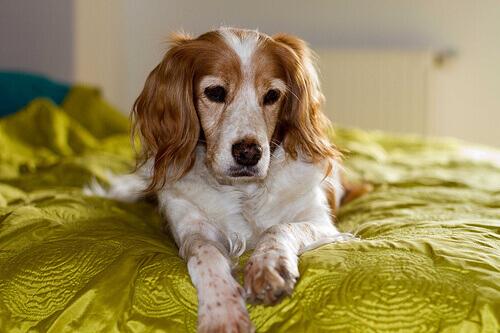 Por que os cachorros cheiram entre nossas pernas?