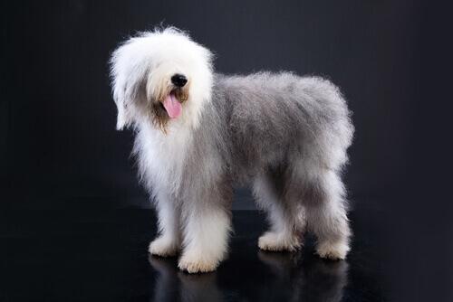 Cachorros com rabo curto