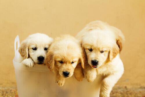 Filhotinhos de cachorro num balde de plástico