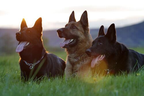 Cachorros no campo