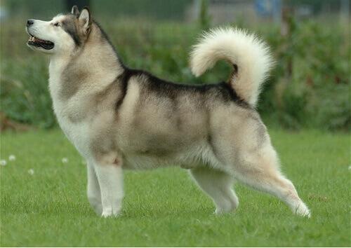 Raças de cachorros que parecem lobos