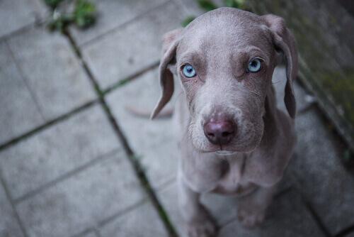 Raças de cães com olhos azuis