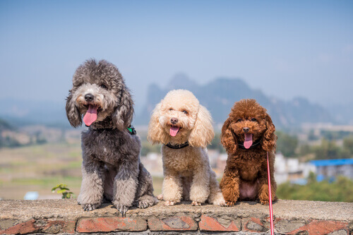 Cães do grupo 8: classificação de raças segundo a FCI