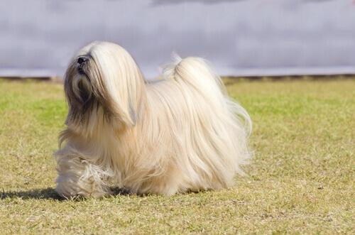 Cães do grupo 9: classificação de raças segundo a FCI