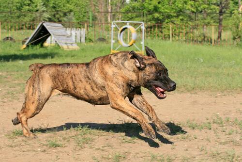Raças de cães não reconhecidas pela FCI