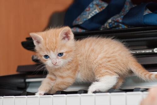 Gatinho sobre as teclas do piano