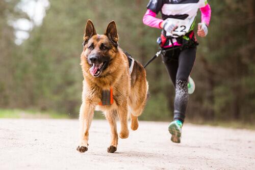Esportes com cães: conheça o canicross