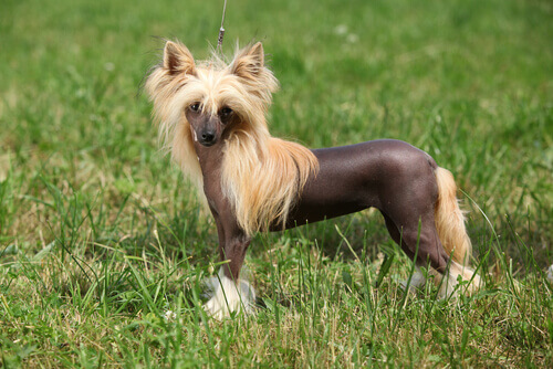 cão de crista chinês na grama