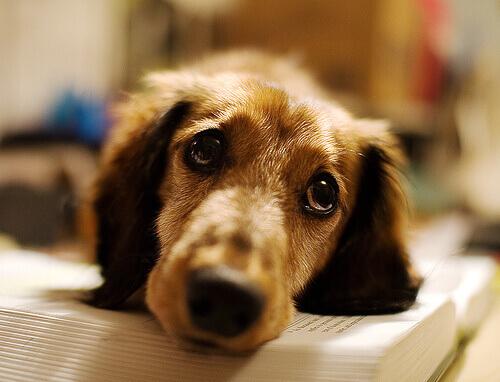 cão deitado no livro com olhar triste