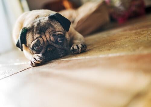 O que faço se meu cão está triste?