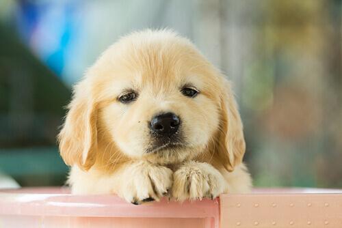 Filhote de Labrador triste