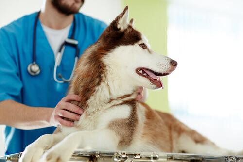 Castrar um cão: vantagens e desvantagens
