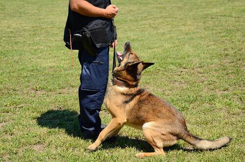 Cão recebendo adestramento