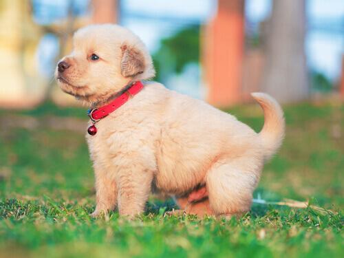 Sintomas e tratamento da cinomose em cães
