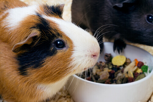 Porquinhos-da-índia comendo