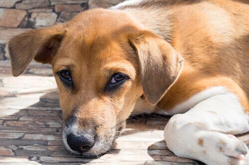 Infecções por coronavírus em cães