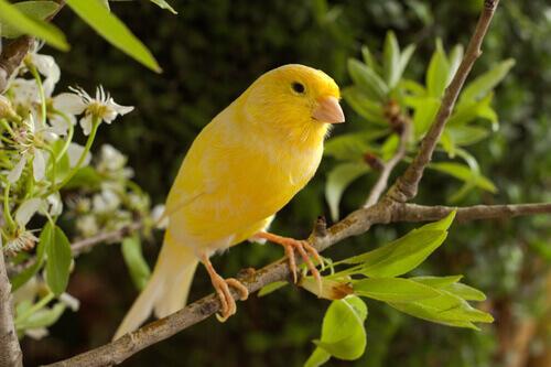 Quais são os cuidados com um canário?