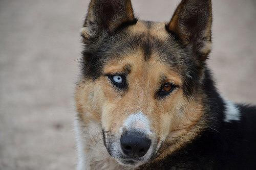 Cão com olhos de cores diferentes