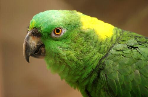 Depressão nos papagaios: causas, sintomas e tratamento