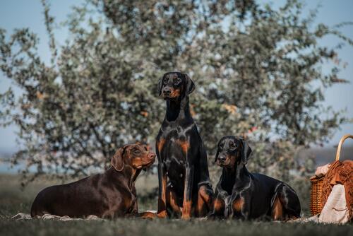 Cães doberman ao lado de cesta