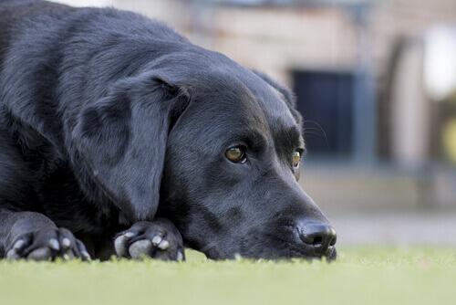 As doenças do cão idoso e seu tratamento