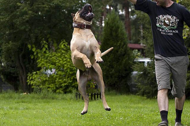 Dogue Canário, um cão peculiar