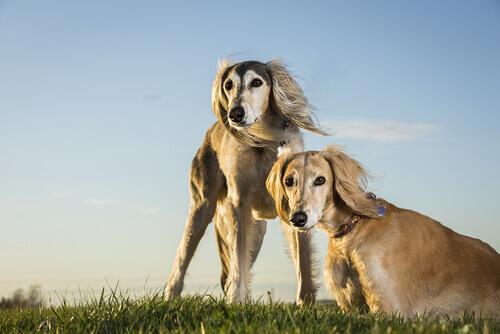 Cães da raça Saluki