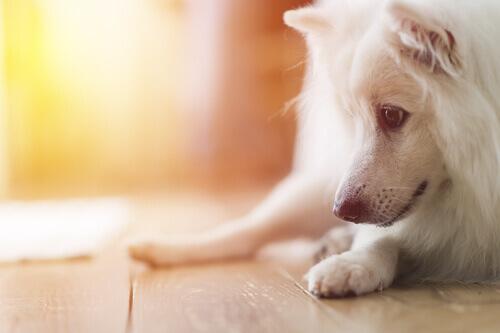 Cão branco olhando para o chão